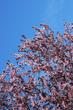 cherry blossom tree on a clear day poster