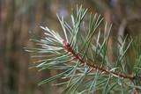 fir branch poster