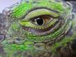 oeil iguane