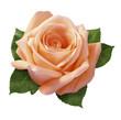 pink rose - 334373