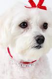 maltese terrier face poster