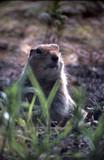 arctic ground squirrel in den poster