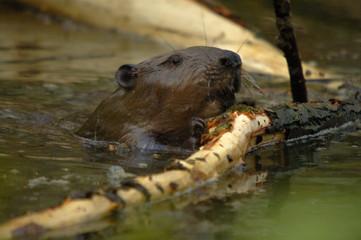 europan beaver