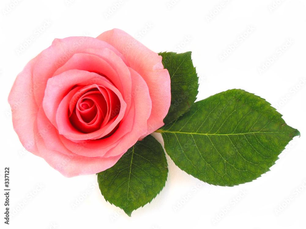 rose kwiat miłość - powiększenie