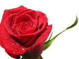 red rose with water droplets poster