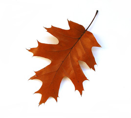 fall oak leaf on white background