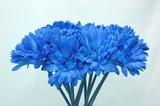 Fototapeta niebieski - kiść - Kwiat