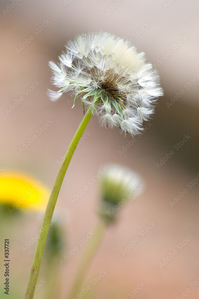 stokrotka mniszek pospolity kwiat - powiększenie
