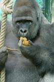 portrait de gorille poster