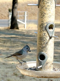 titmouse bird on feeder poster
