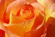 yellow orange rose with waterdrops