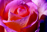 deep pink rose with waterdrops poster