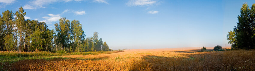 cornfield in the morning