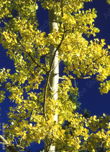 yellow leaves on birch tree