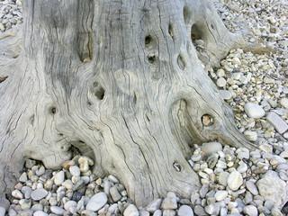 verwurzelter olivenbaum
