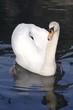 beautiful swan on blue/black background