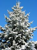 winter fir under snow 1 poster