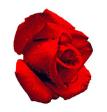 valentines day rose. poster