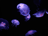 group of jelly fish poster