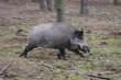 running wild pig