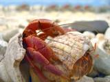 aggressive hermit crab poster