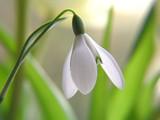 white snowdrop - 355100