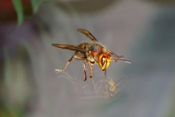 vespa crapo