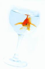 goldfish in a glass 2