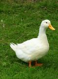 aylesbury duck poster