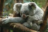 Fototapete Tier - Australien - Säugetiere