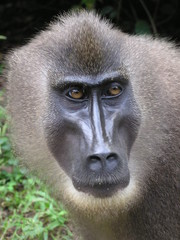 drill monkey in nigeria 1