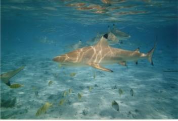 requin à pointe noire