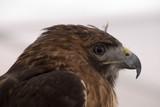 profile of a hawk poster