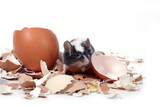 mouse in broken eggshells poster