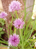 bloom from herb chives poster