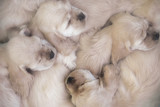 sleeping bunch of puppies poster
