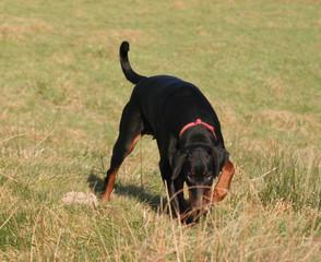 tracking dobermann
