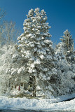 snow covered pine tree and blue sky poster