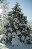 snow covered pine tree poster