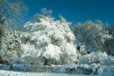 beautiful snow covered tree poster