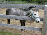 gray pony poster