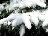 winter fir branches under snow 1 poster