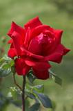 big red rose poster