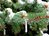 icicles on the fir tree poster