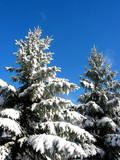 winter fir trees under snow poster