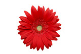 red daisy isolated poster
