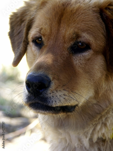 poster of dog headshot golden retriever