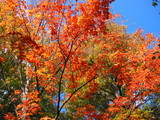 fall foliage red sugar maple poster