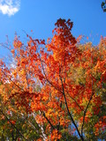 fall foliage red maple poster