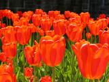 tulip lanterns poster